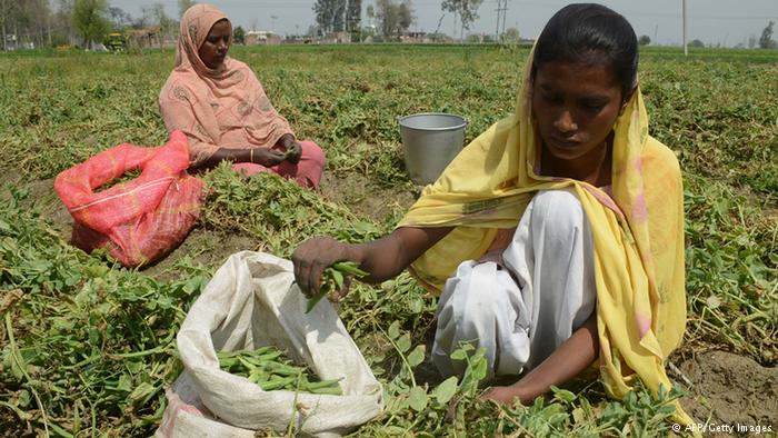 Indian workers sort peas after harvesting on the outskirts of Amritsar on March 20, 2013. © AFP/Getty Images