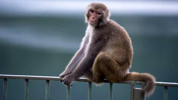 Ein Makake in einem Zoo in Hong Kong – in dieser Art von Affen entwickelte sich das Protein, das eine HIV-Infektion verhindern kann. © Alex Ogle/AFP/Getty Images